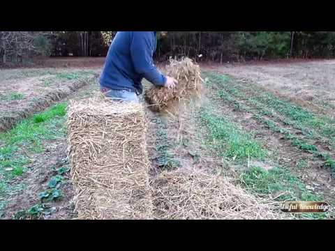 How to Plant Strawberries Part 2: Protect Them for the Winter | Useful Knowledge