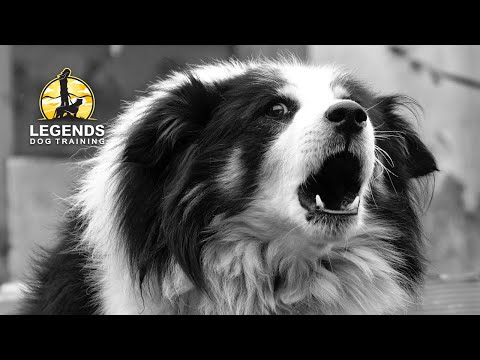 Border Collie: Reactivity to People and Dogs