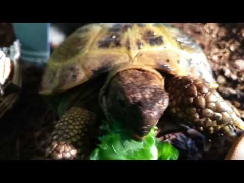 This Is the CUTEST Tortoise EVER!!! Minerva The Russian Tortoise
