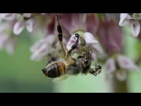 Honey Bees and foraging behavior, flowers for pollenation and nectar, what honey bees eat