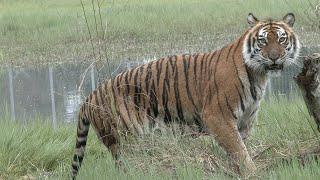 Help Save Wild Tigers!