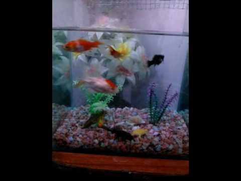 Goldfish molly all live togather in my happy aquarium