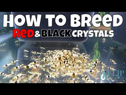 How to Care for and Breed Crystal Red and Black Shrimp - The Basics for Freshwater Shrimp