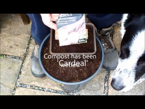 Best Beetroot (Beets) for growing in a pot update