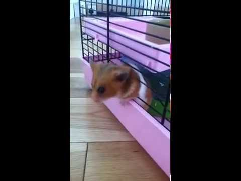 My Hamster Escaping Her Cage