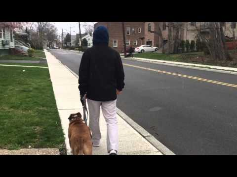 American Staffordshire Terrier trained to walk on leash