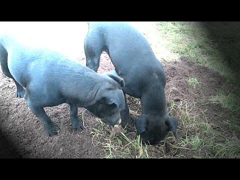 Patterdale Terriers Digging