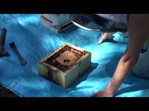 How to split a hive? Native Australian Stingless Bees