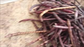 Harvesting Purple Hull Peas