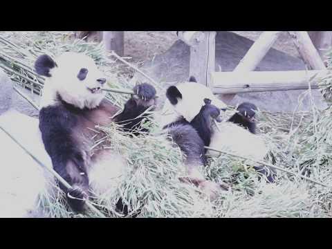 The Giant Panda family in the Toronto Zoo