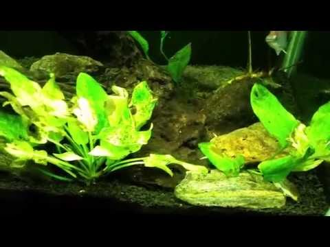Diatom Algae and Silicates in my Gudeon Tank.