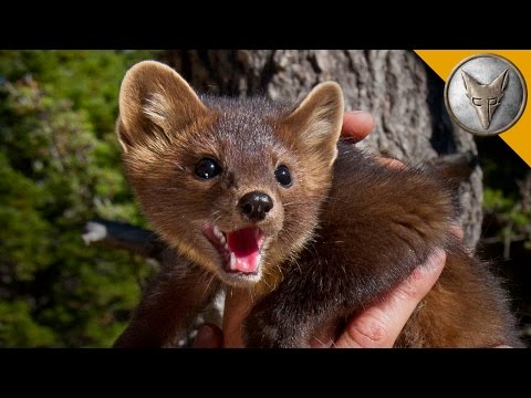 The Pine Marten is Nature's Most Adorable Assassin!