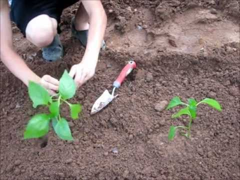 Planting~   Bell pepper and Sweet corn