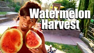 Watermelon Harvest -  Ready to Harvest? Taste Test // Growing Large Veggies/Fruit in Containers #4