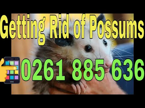 Getting Rid of Possums Canberra | Call + 61 (26) 1885636