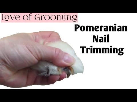 How to Clip a Pomeranians Nails