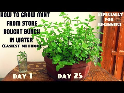 Easiest Method for Beginners to Grow Mint From Cuttings (With Updates)