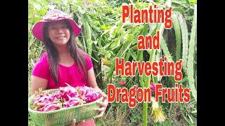 Planting and Harvesting Dragon Fruits #Beyoncefraylevlogs
