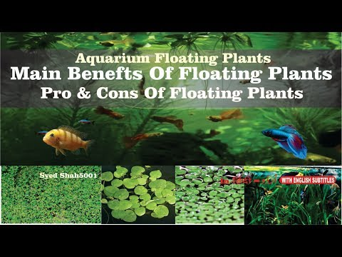 Main Benefits of Aquarium Floating Plants Frogbit, Salvinia Natans and Dwarf Water Lettuce
