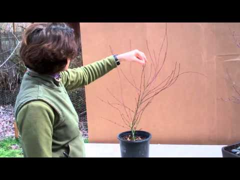 Pruning Japanese Maples with Tricia Smyth Part 2
