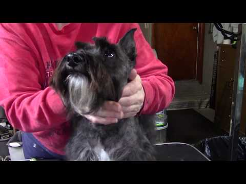 Buddy gets a haircut, or what dogs think at the groomers