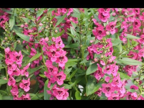 HOW TO PLANT AND CARE FOR ANGELONIA FLOWERS - BY HAPPY TWIRL