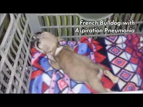 BATTLING ASPIRATION PNEUMONIA - 5 week old French Bulldog