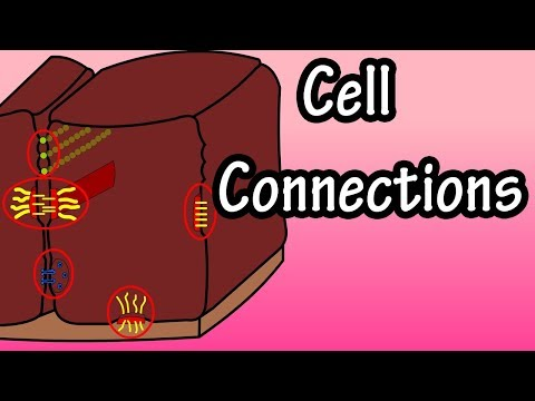 Cell Connections - How Are Cells Connected - What Are Cell Junctions - Types Of Cell Connections