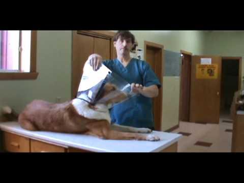How to Put an Elizabethan Collar (E-collar) on a Dog