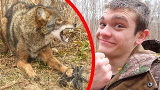 Download I TRAPPED A COYOTE! *Vicious* Video